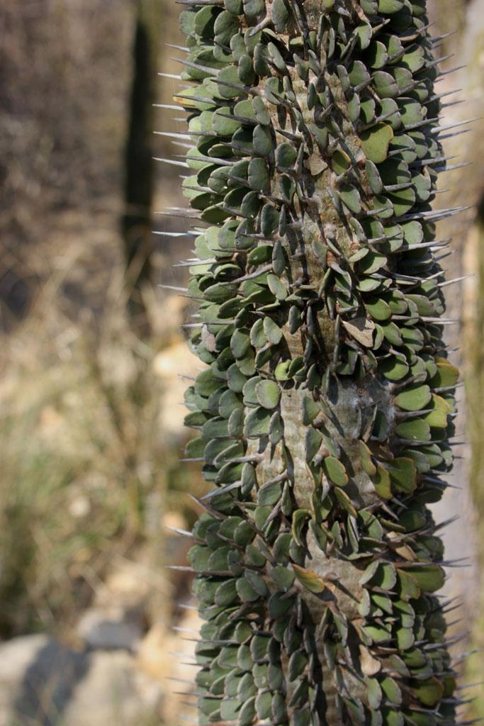 Een detail vande Alluaudia montagnacii, een van de bijzondere doornplanten uit het zuidwesten