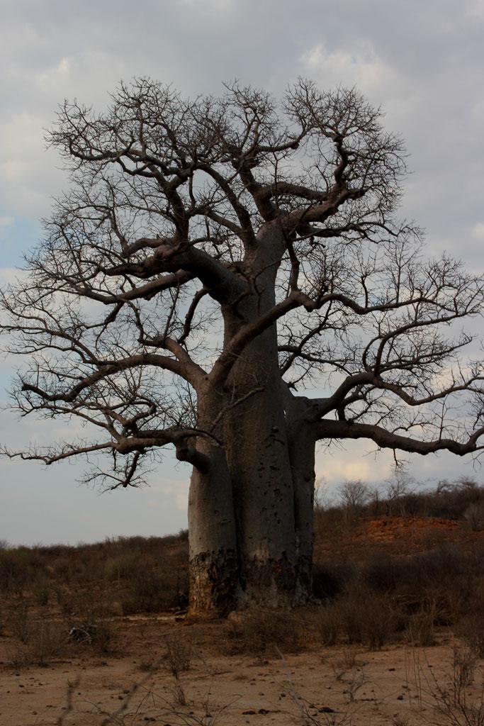 Een reusachtige baobab (Adansonia) staat op enkele meters van de RN 7