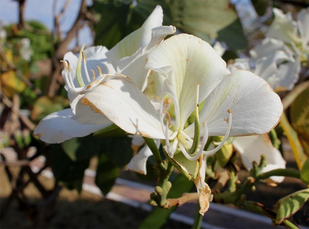 Een bloem van een Bauhinia soort (Fabaceae)