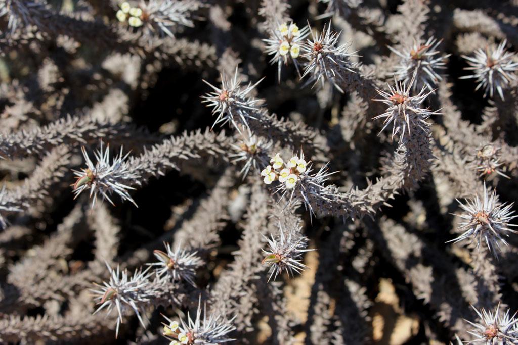 Op de inselberg groeide ppk een succulente Euphorbia soort