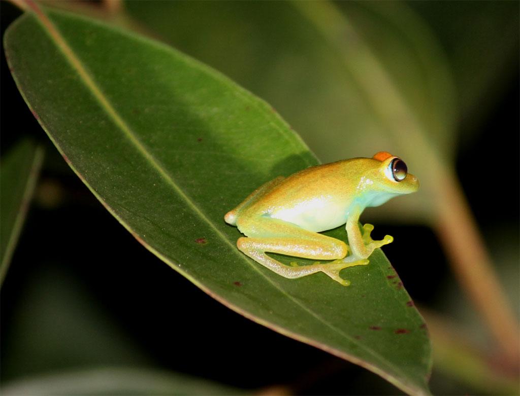 Een groene kikker op een blad, gefotografeerd tijdens de nocturne