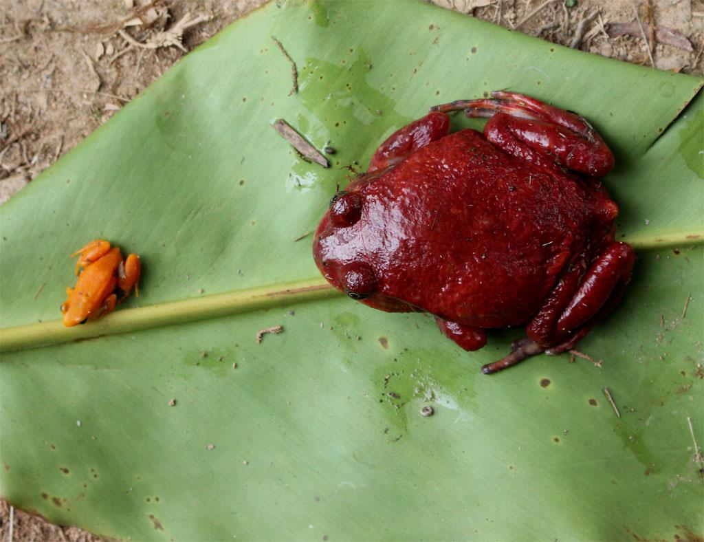 Twee kikkers, links de gouden mantella (Mantella aurantiaca) en rechts de tomoto frog