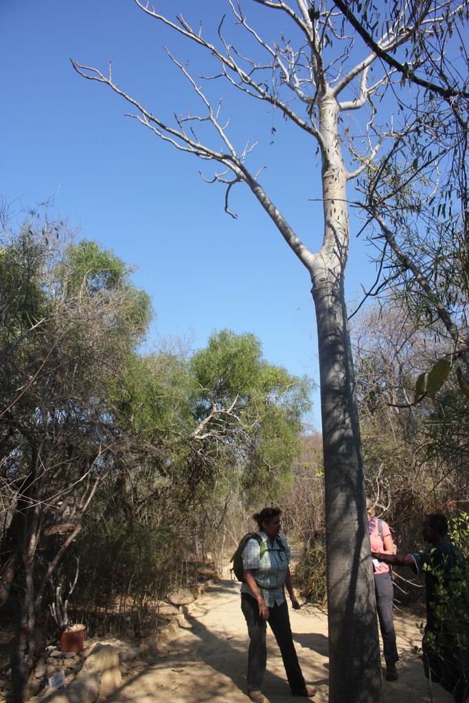 Moringia drouhardii (Maroserano), een van de dikbuikige planten