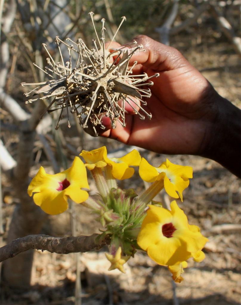 Een mousetrap plant (Uncarina), waarvan hier de bloemen en de akelige vruchten getoond worden.