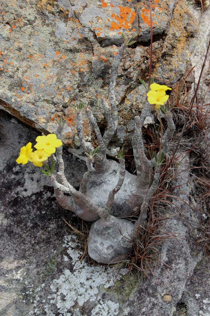 Een Pachypodium gracilis bloeit met mooie gele bloemen.