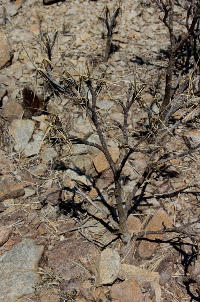 OP de inselberg groeiide onder andere een Xerophyta soort