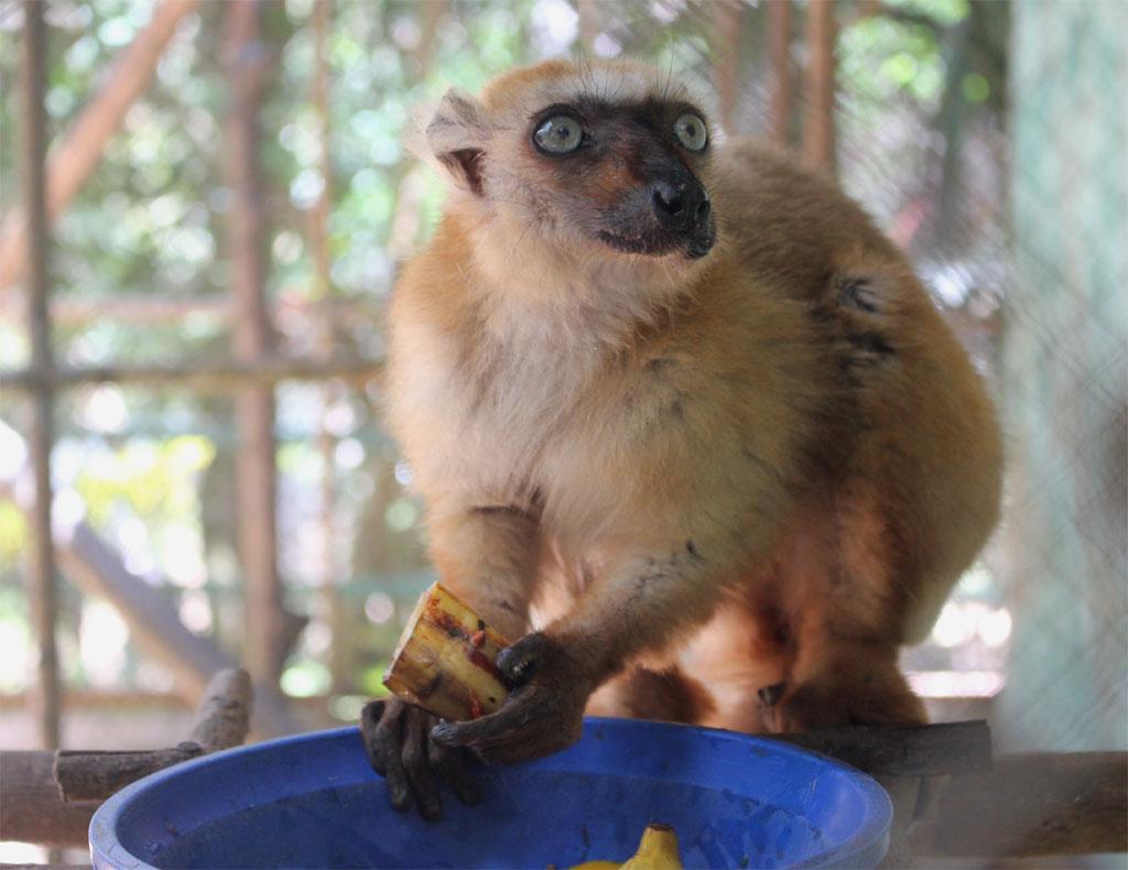 Een blue eyed black lemur (Lemur flavifrons) is aan het eten.