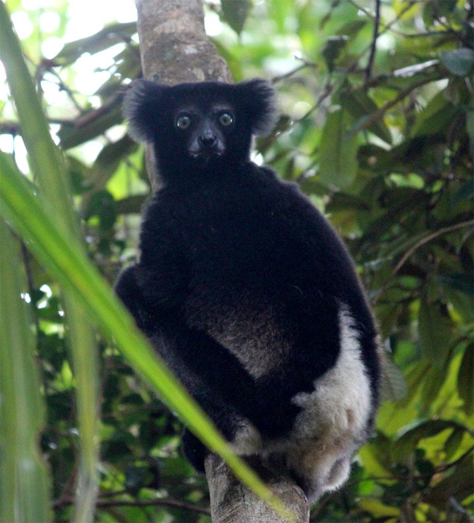 een indri kijkt ons aan vanuit een boom