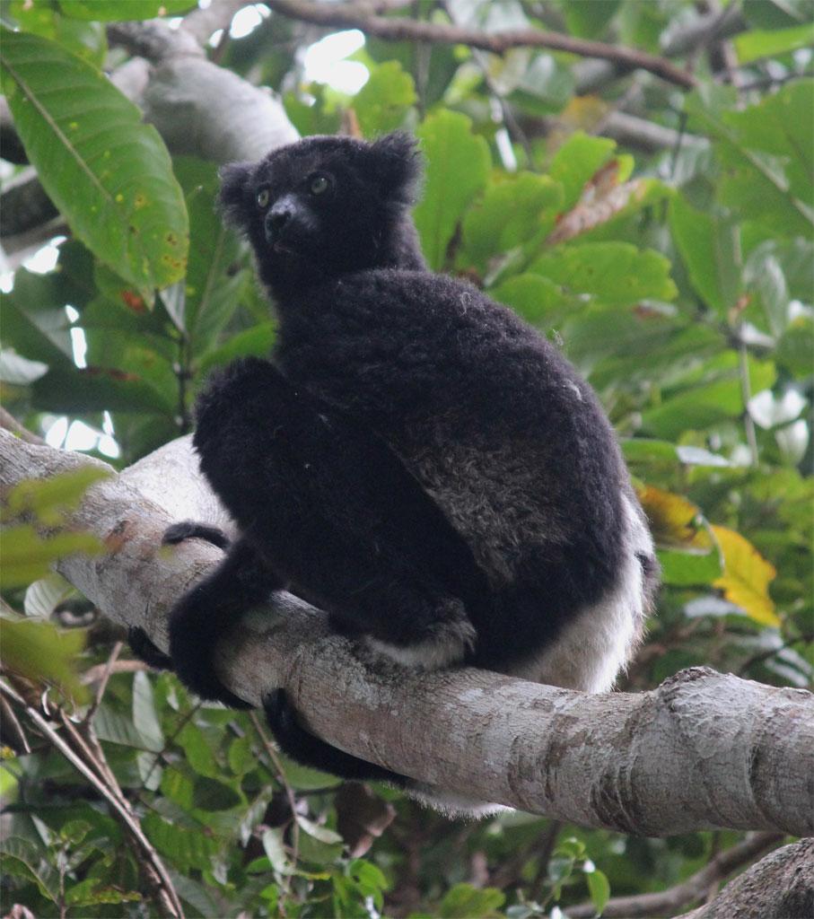 Een indri zit rustig op een boomtak
