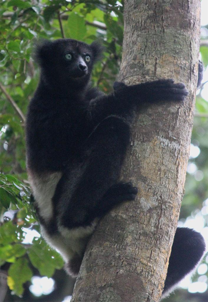 Een indri klimt in een boom omhoog