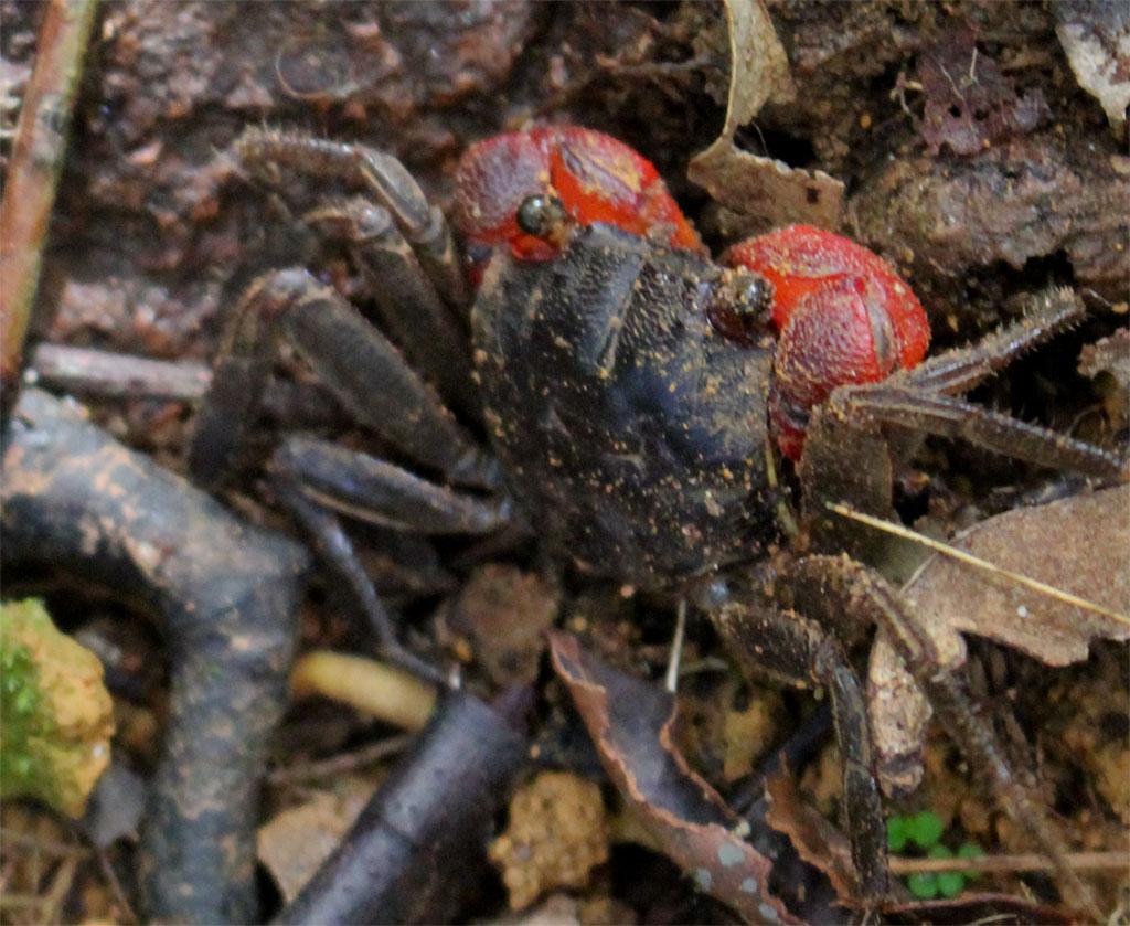Een krab kruipt over de grond, tussen de bladeren door
