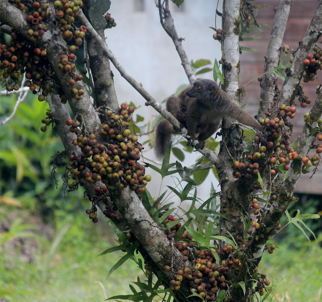 Een red frontend lemuur eet de vijgen van een Ficus lutea