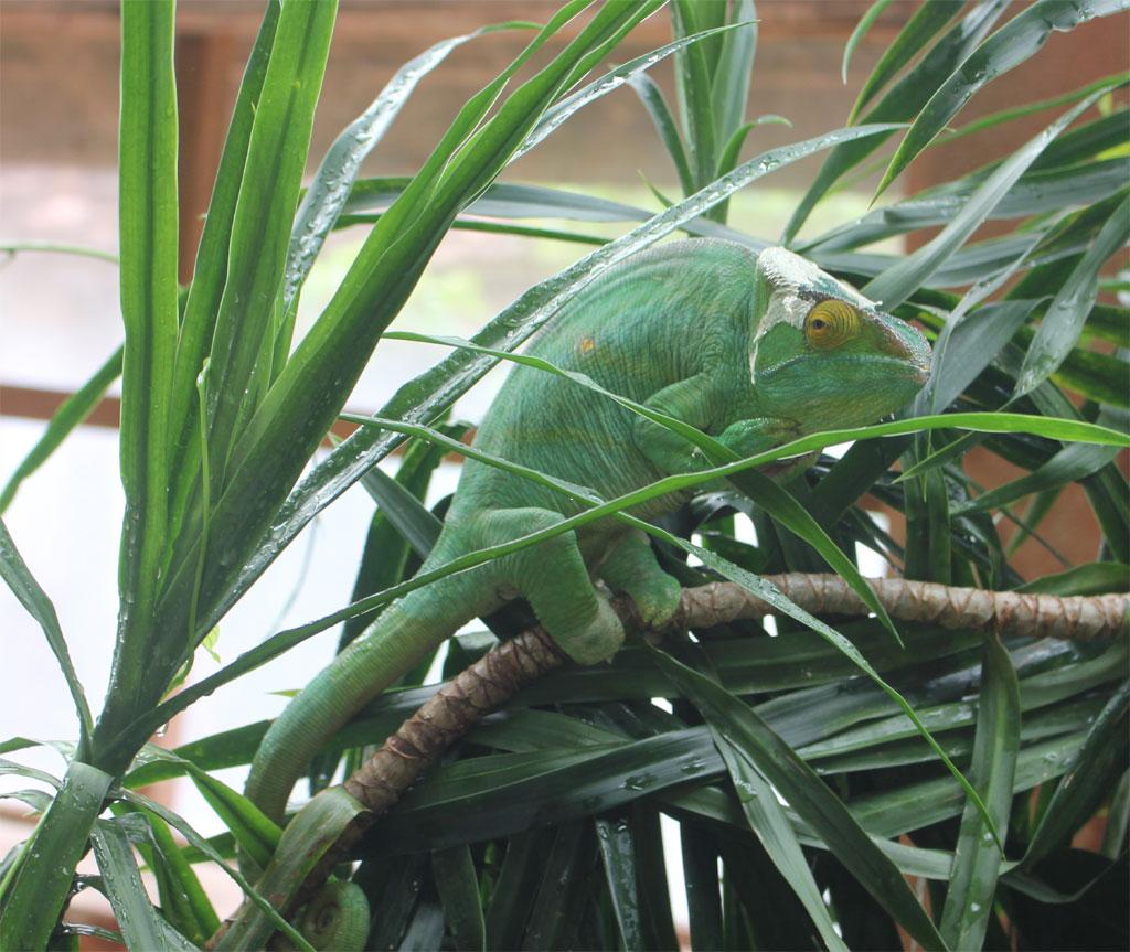 Een reusachtige Parson kameleon loopt op een takje voorbij