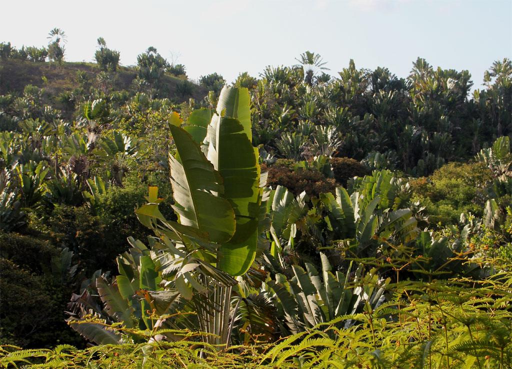 de reizigersplant en een bepaald varensoort domineren het landschap nadat het priimaire woud is omgehakt.