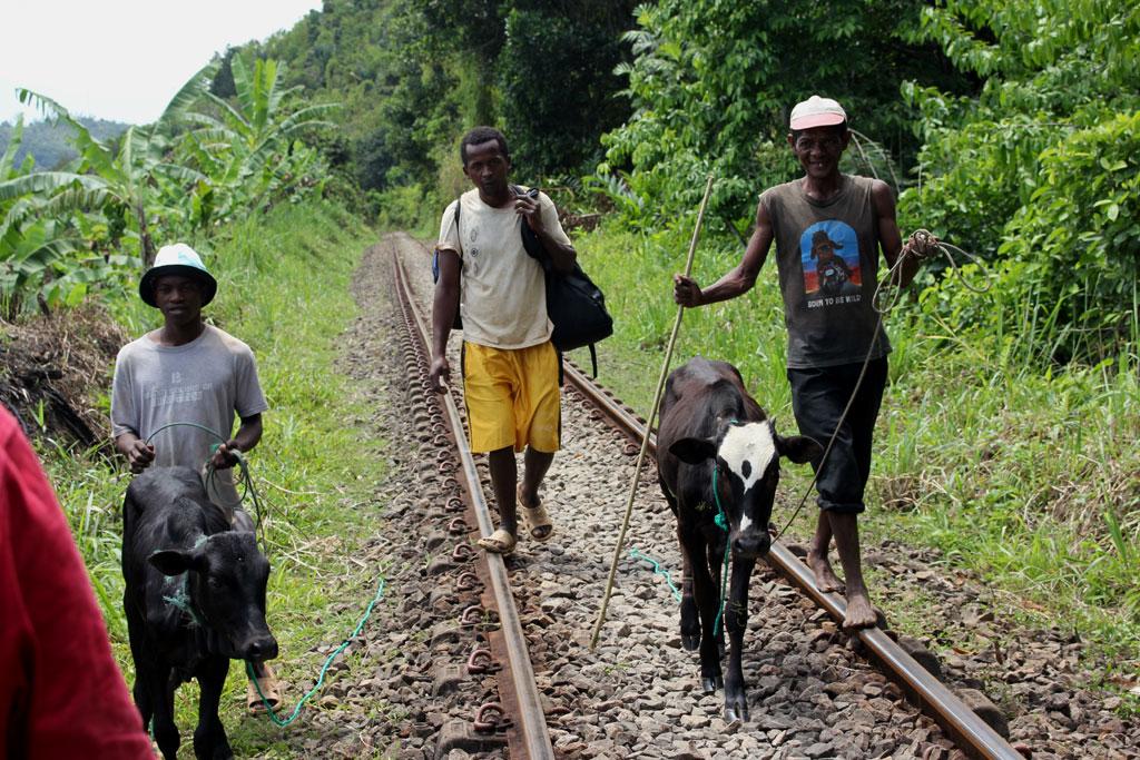 Tegenliggers op de spoorlijn met enkele zeboe's