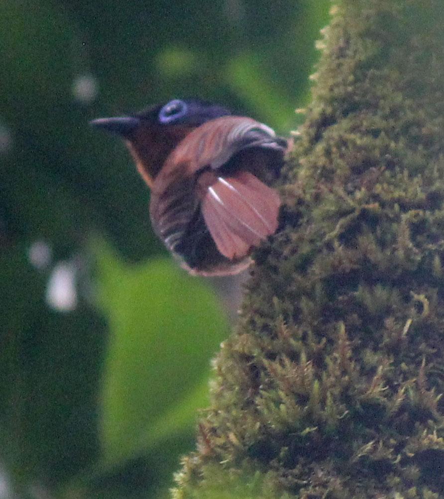 De Madagascar Flycatcher betrap ik als hij op een boom zit, helaas erg ver weg